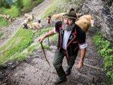 Urcarea vacilor la pasunile alpine