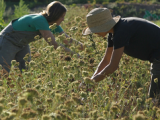 Cum recoltam semintele pentru inmultire?