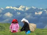 Ceaiul ecologic din Darjeeling