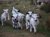 Gustul mediteraneean al carnii mieilor din Pag