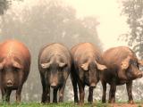 Crestere ecologica a porcilor in Spania si traditia sacrificarii lor